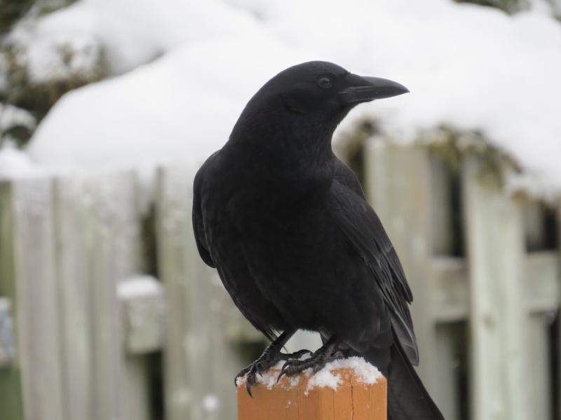 Corneille ou Corbeau? Oiseau16