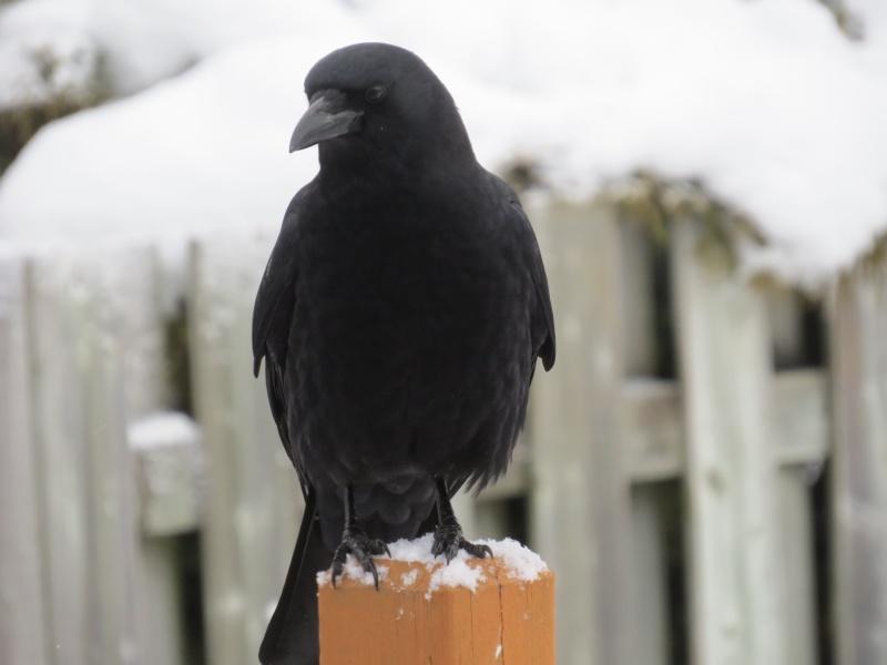 Corneille ou Corbeau? Oiseau18