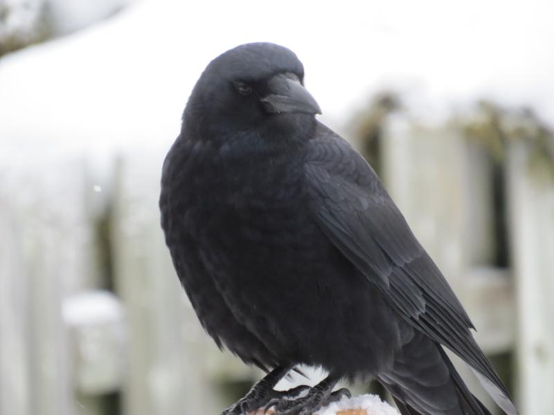 Corneille ou Corbeau? Oiseau19