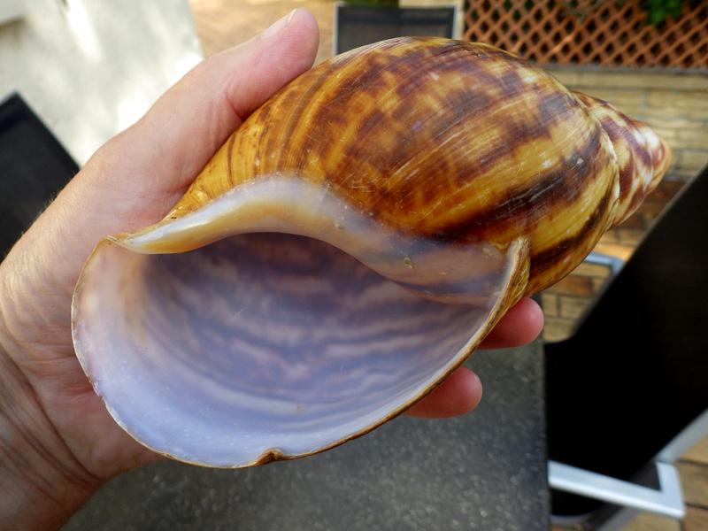 Archachatina marginata (Swainson, 1821) Imgp0022