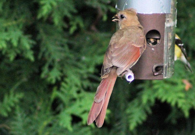 Cardinal f ou m Img_2314