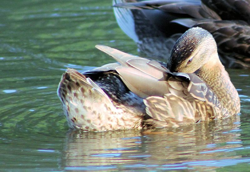 Moments intimes avec les canards noirs Img_2413