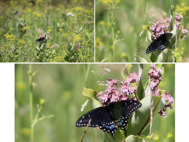 Bourdon et papillon Papill11