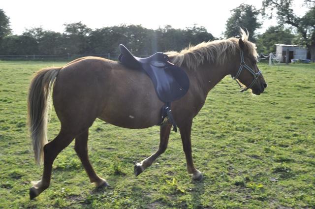 PRALINE - poney typée PFS née en 2001 - gardée par sa propriétaire Selle_10