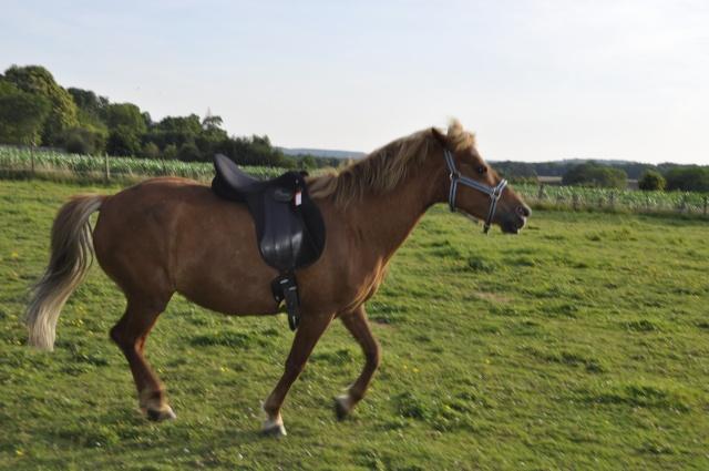 PRALINE - poney typée PFS née en 2001 - gardée par sa propriétaire Selle_11
