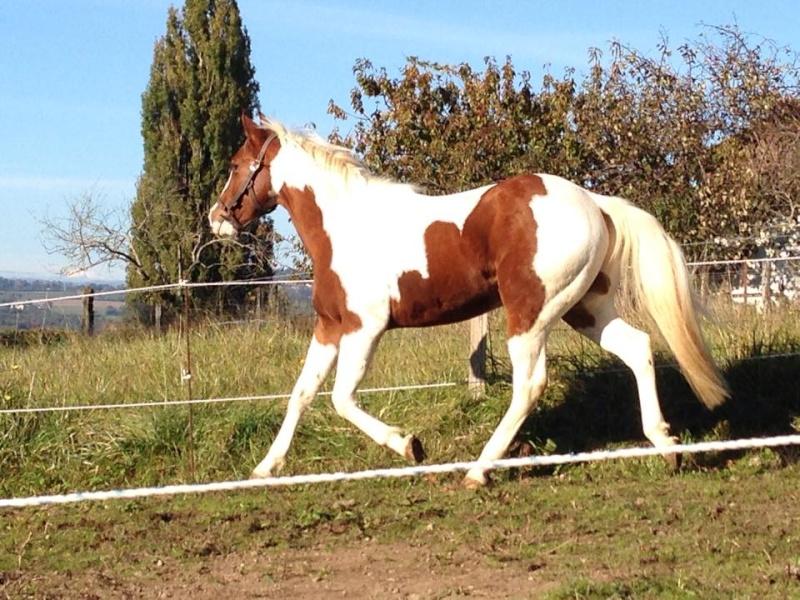 Jeune Paint horse- a archiver 10728910