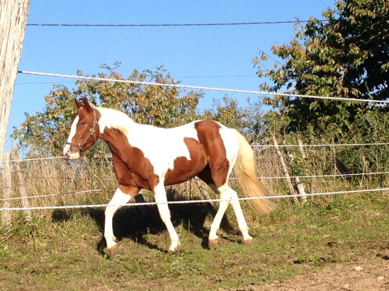 Jeune Paint horse- a archiver 10729010