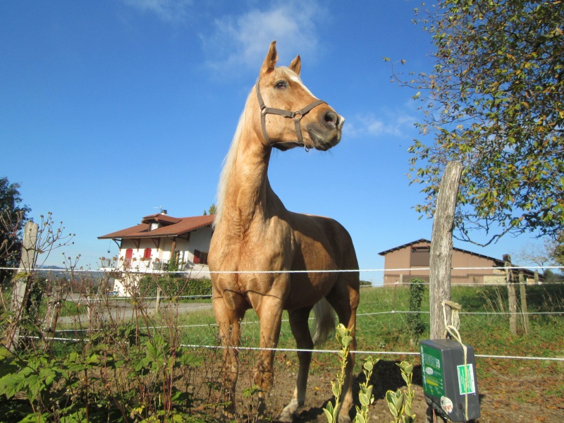Jument palomino- a archiver Img_2112