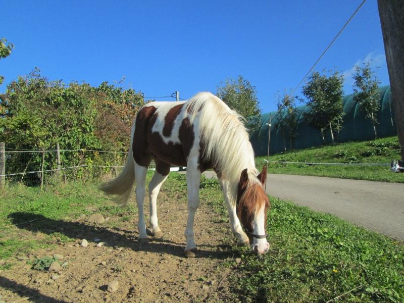 Jeune Paint horse- a archiver Img_2114