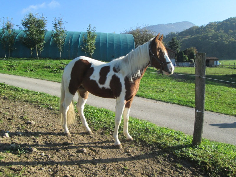 Jeune Paint horse- a archiver Img_2115