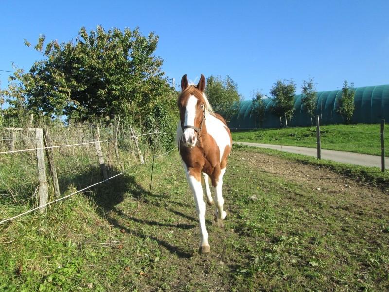 Jeune Paint horse- a archiver Img_2116
