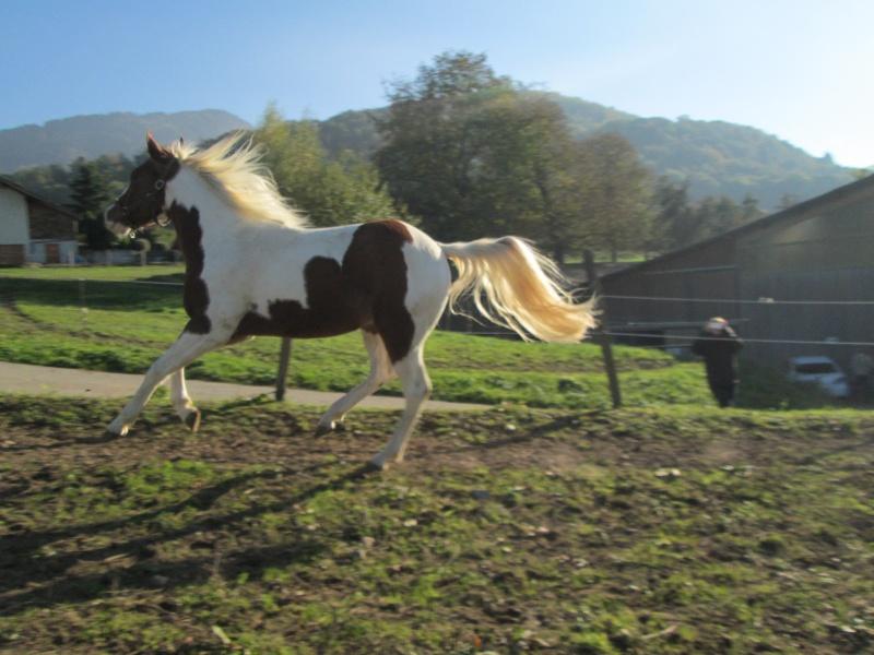 Jeune Paint horse- a archiver Img_2117