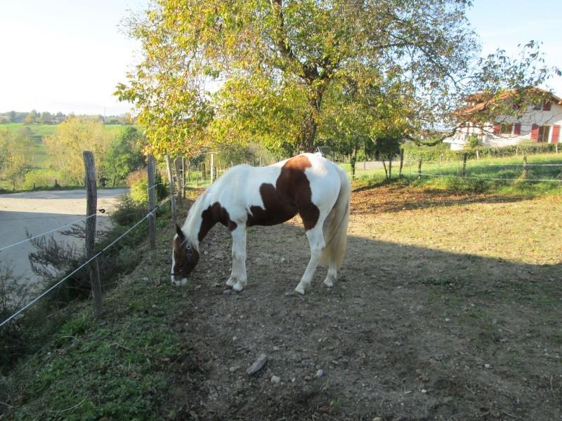 Jeune Paint horse- a archiver Img_2118