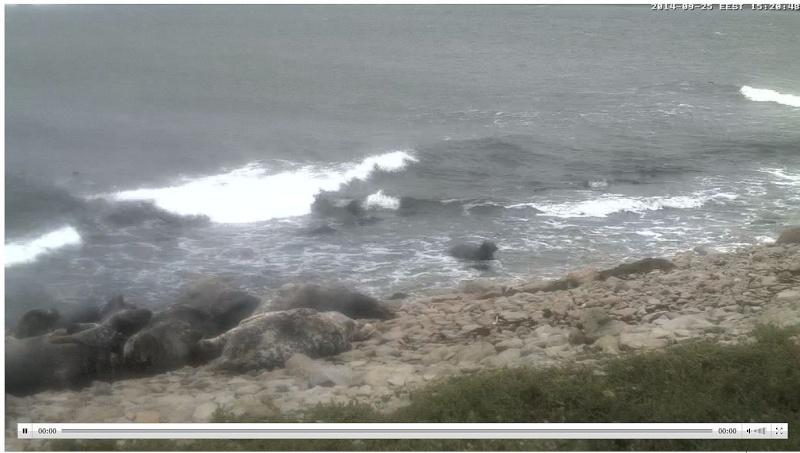 Wildtier-Livecams Robben10