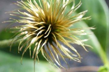 Hahnenfußgewächse (Ranunculaceae) - Winterlinge, Adonisröschen, Trollblumen, Anemonen, Clematis, uvm. - Seite 6 Clemat10