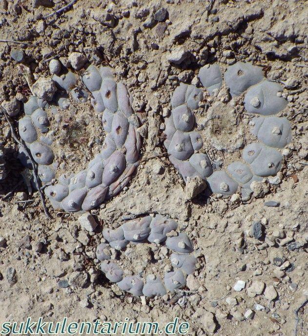 Lophophora williamsii var. williamsii Bild_517