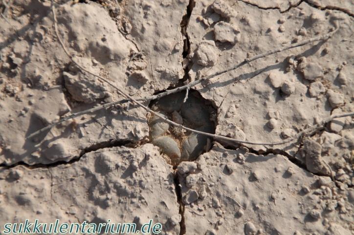 Lophophora  alberto-vojtechii Bild_520