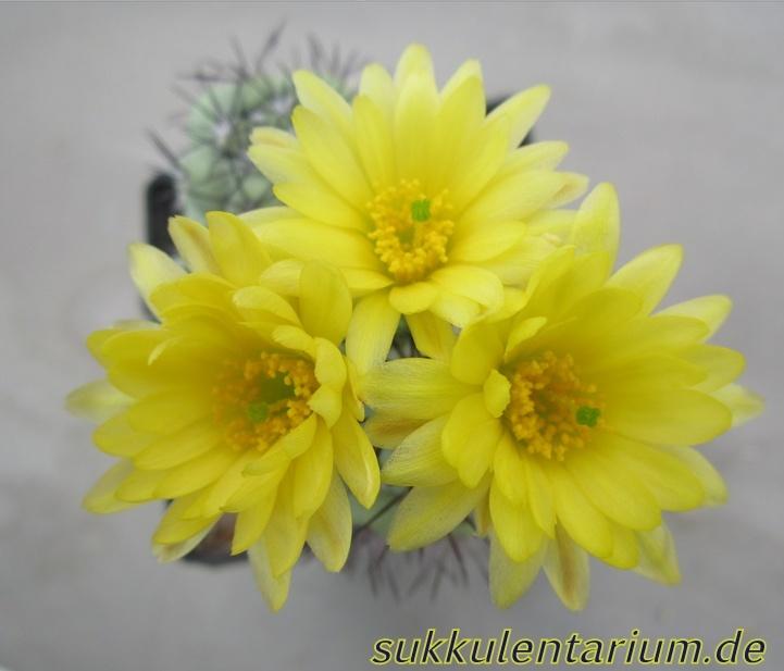 Ortegocactus macdougallii Bild_610