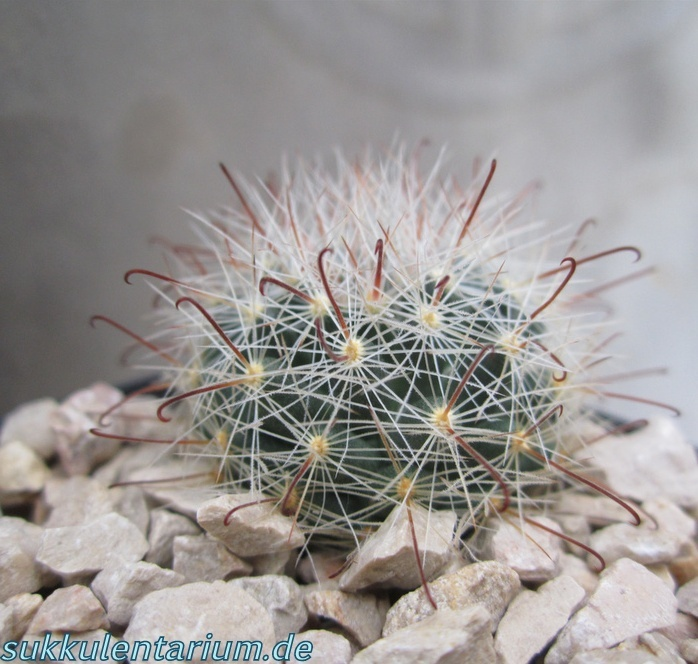 Mammillaria barbata Bild_617