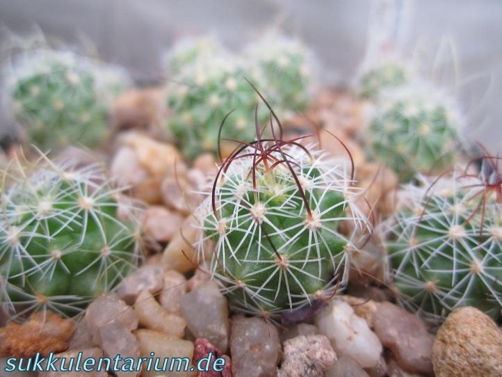 Echinofossulocactus anfractuosus Bild_618