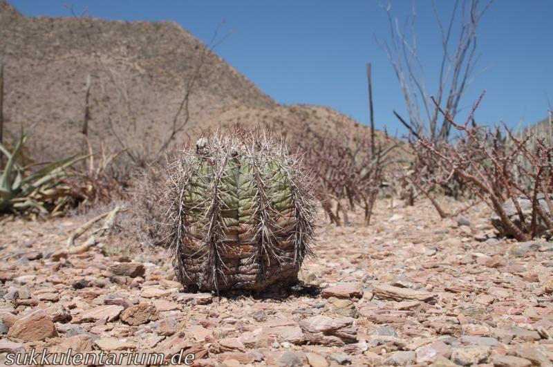 Echinocactus horizonthalonius Bild_620