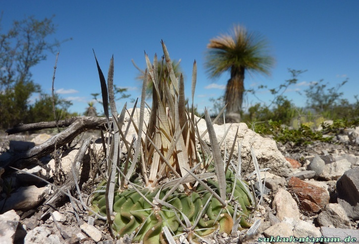 Echinofossulocactus phyllacanthus Bild_725