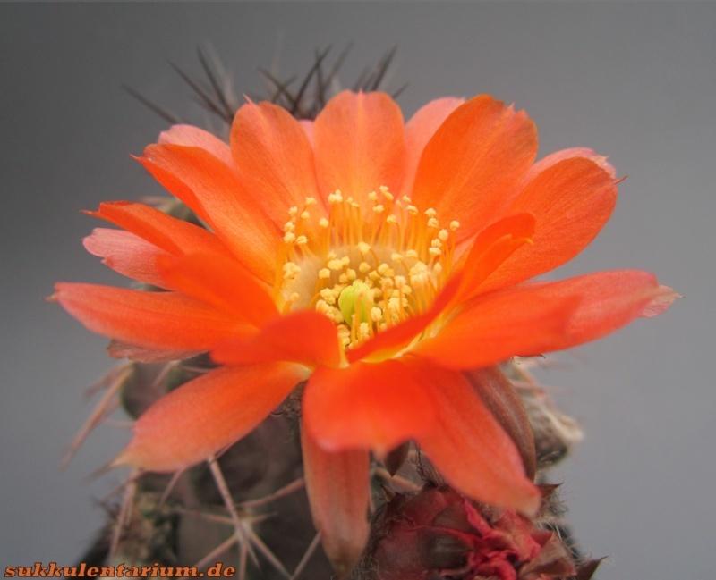 Acanthocalycium glaucum var. rubriflorum Bild_812