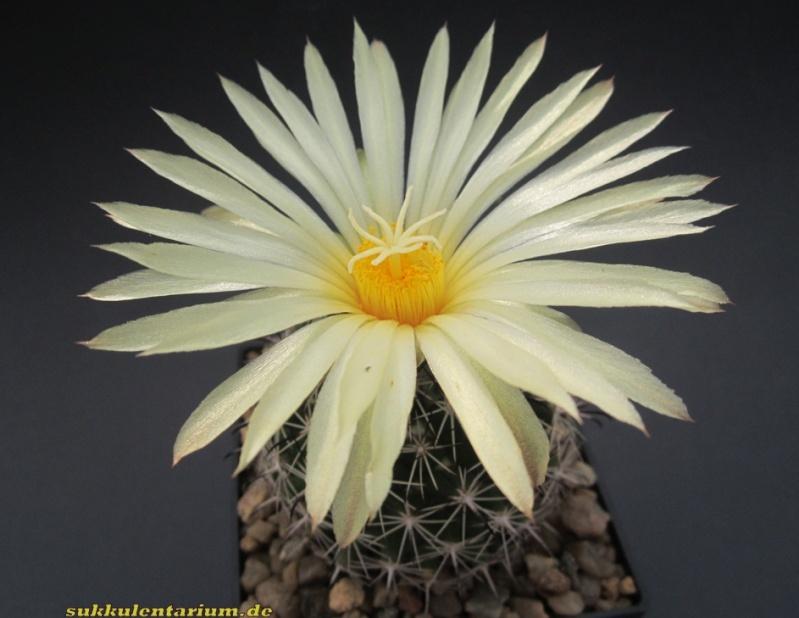 Coryphantha delicata Bild_823