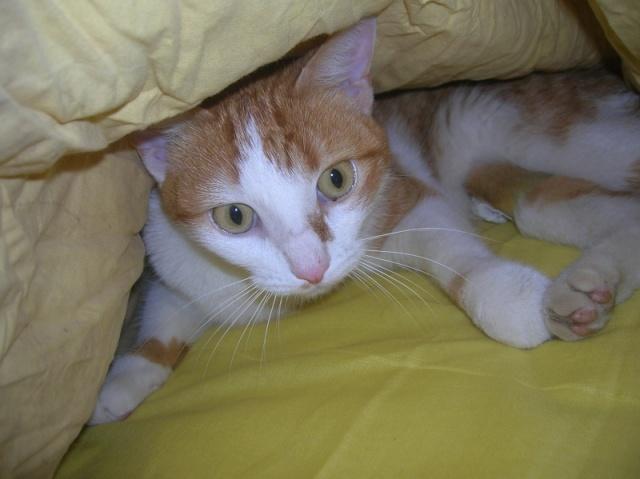 FAOU, chat mâle blanc et roux né 01/2011 (BDS-35) Dscn6011