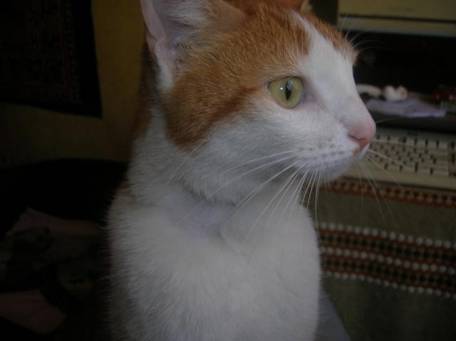 FAOU, chat mâle blanc et roux né 01/2011 (BDS-35) Dscn6012