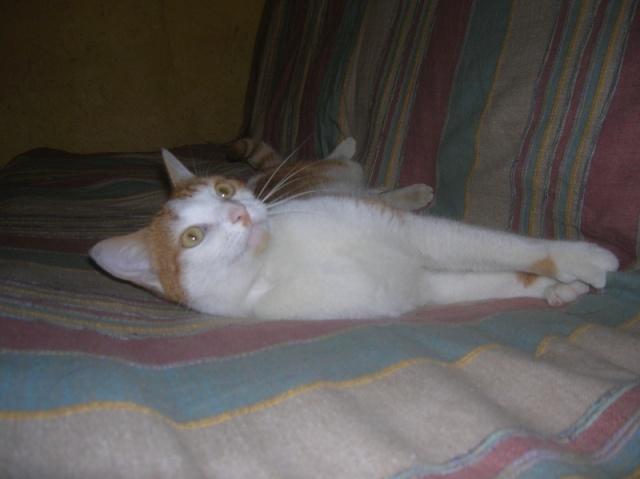 FAOU, chat mâle blanc et roux né 01/2011 (BDS-35) Dscn6111