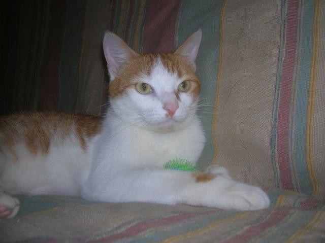 FAOU, chat mâle blanc et roux né 01/2011 (BDS-35) Dscn6210