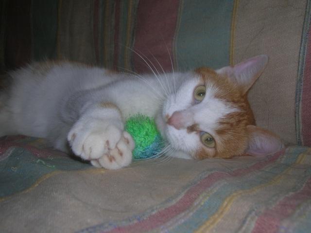 FAOU, chat mâle blanc et roux né 01/2011 (BDS-35) Dscn6211