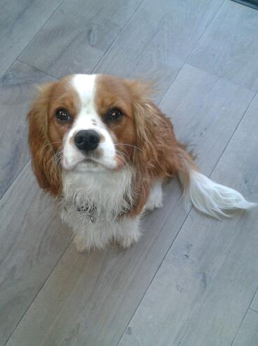 Le Cavalier King Charles Spaniel - Page 2 2011-110