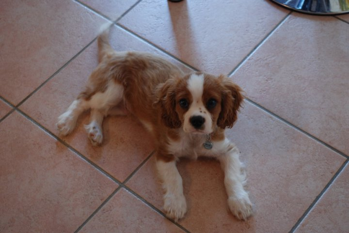 Le Cavalier King Charles Spaniel - Page 2 28171310