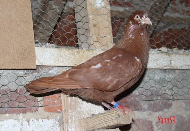 Mes pigeons - Page 2 10172710