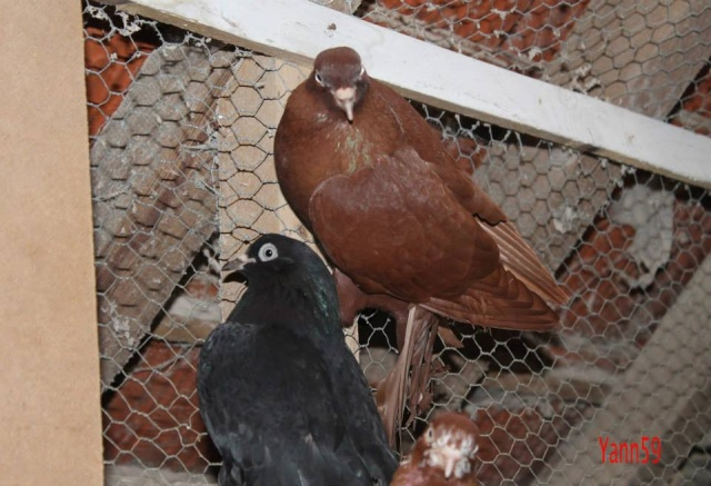 Mes pigeons - Page 2 10288710