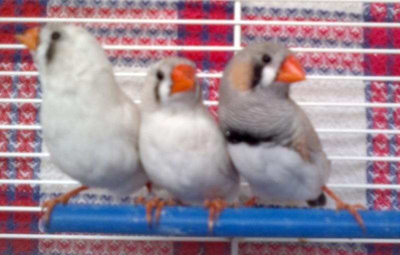 Mes Oiseaux ...... Jeune_10