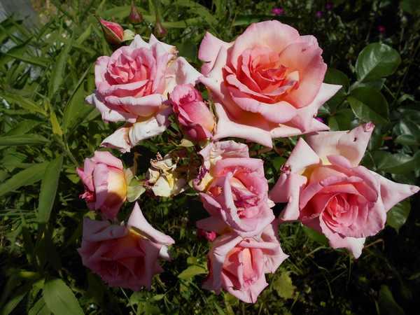 Rosa Compassion  - Page 2 Compa10