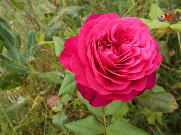 Rosa Parfum de Honfleur  - Page 2 Parfum10