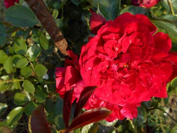 Florentina  Rosa_f10