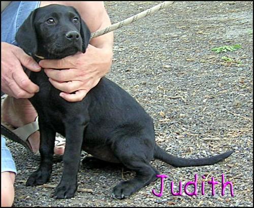 JUDITH chiot labrador Dscn7420