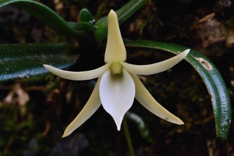Angraecum liliodorum Angrae10