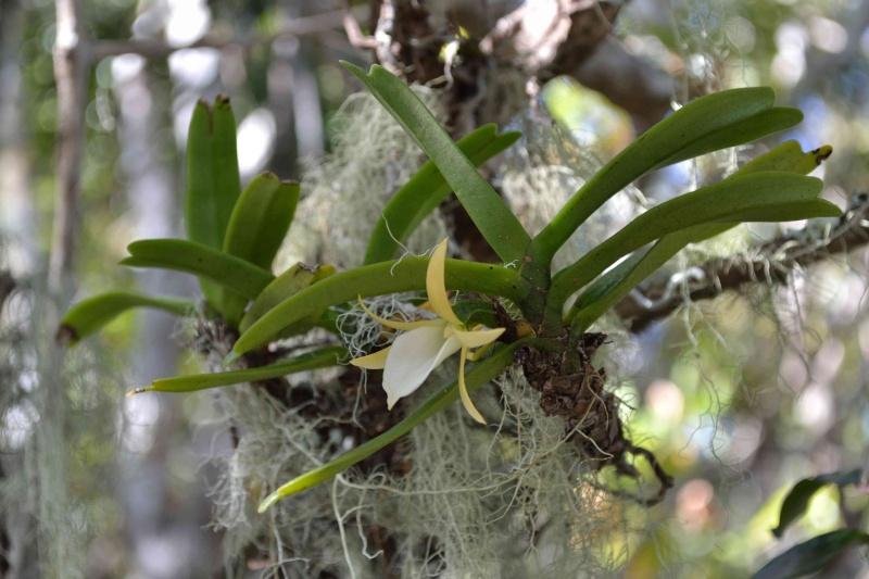 Liliodorum 2e Angrae12