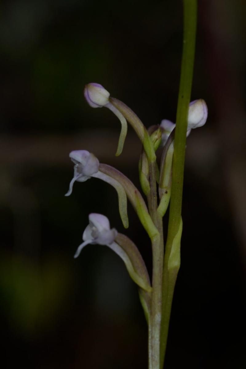 Cynorkis rosellatta Cynork30