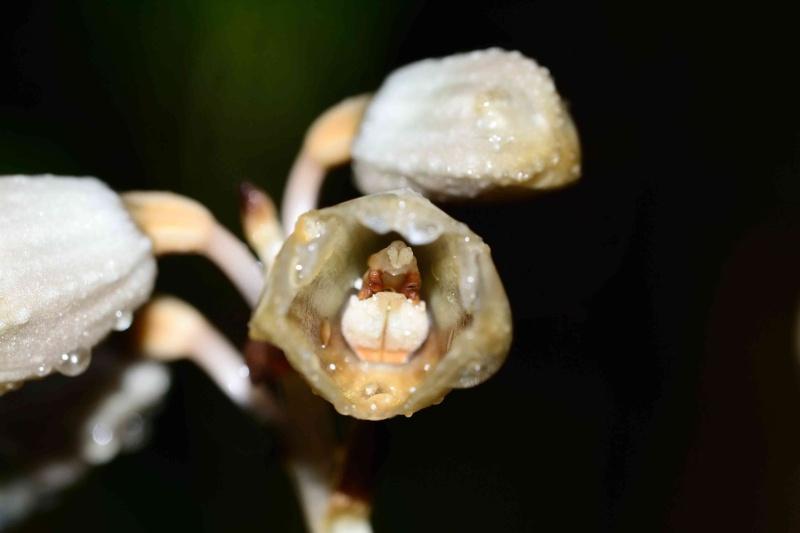 Gastrodia similis Gastro10