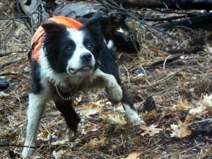 Des chiens au secours des espèces menacées Frehle10