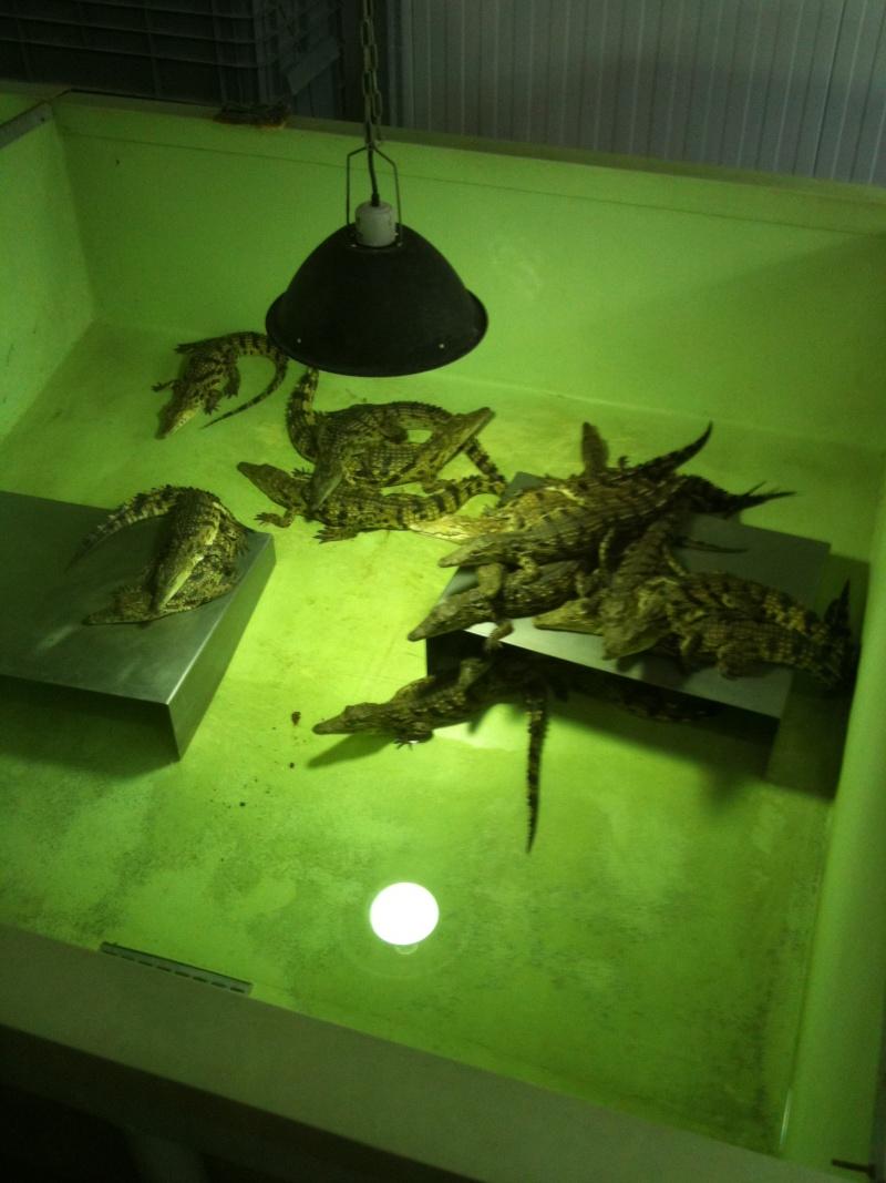 ferme aux crocodiles Yc_05410