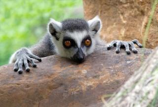 Départ pour Madagascar ! Lemur_10