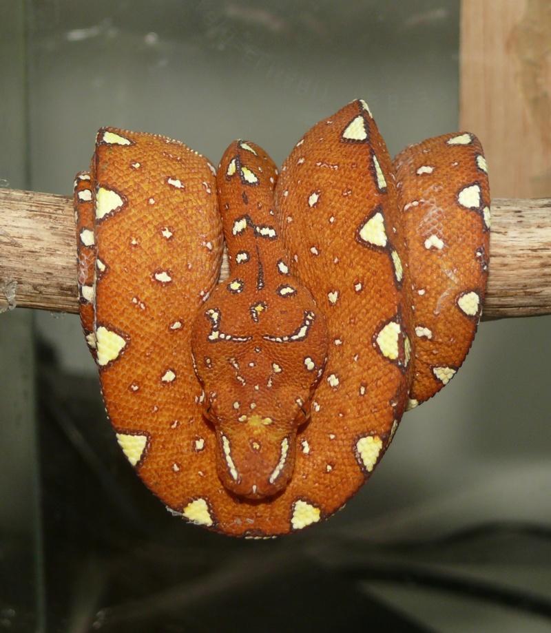Morelia viridis Biak 2014 P1080514